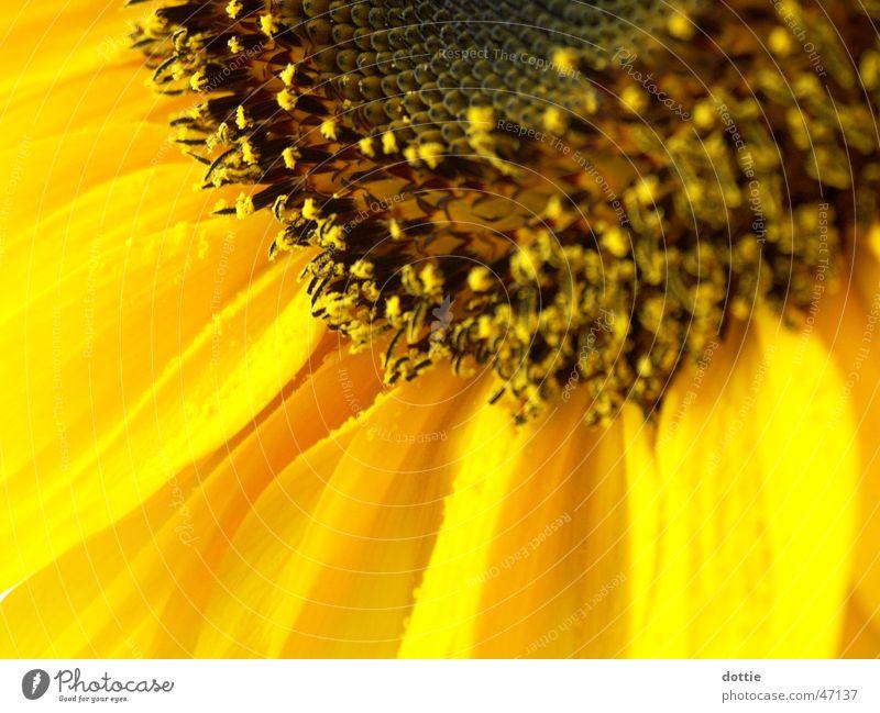 Sonnenblümeli Nr.2 Sonnenblume gelb nah Sommer Makroaufnahme Pollen