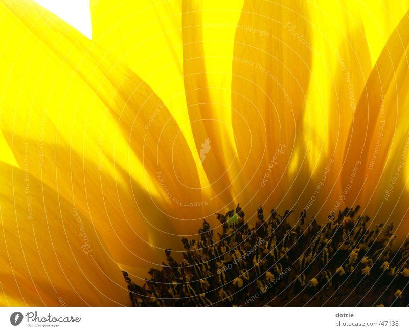 Sonnenblümeli Nr.3 Sonnenblume gelb nah Sommer Makroaufnahme Pollen