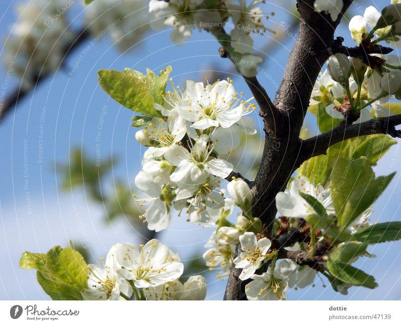 Kirschblüte Nr.1 weiß Baum Blüte Frühling Ast Blühend Kirsche