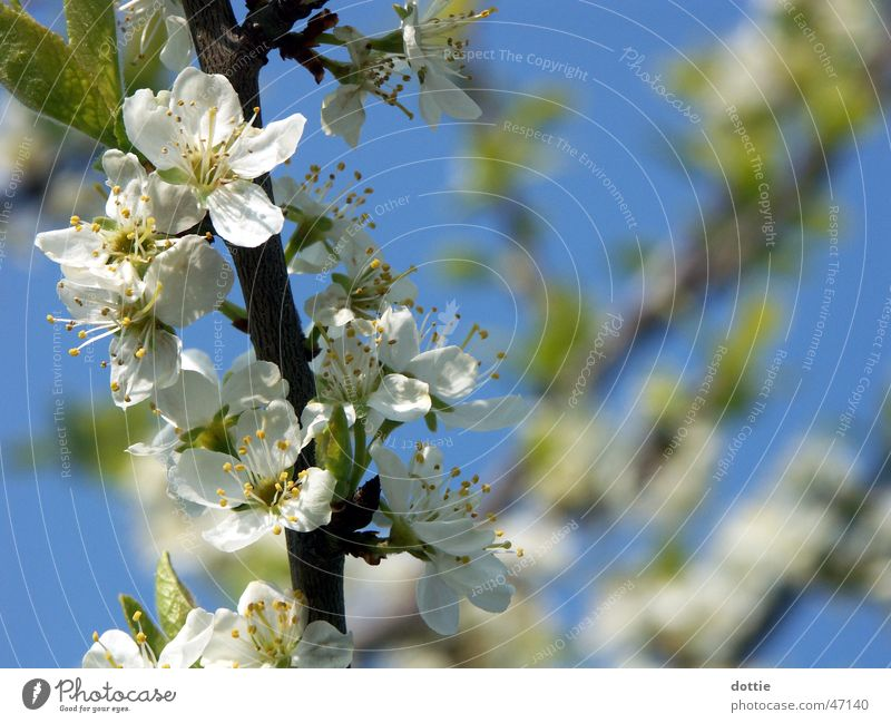 Kirschblüte Nr.2 weiß Baum Blüte Frühling Ast Blühend Kirsche