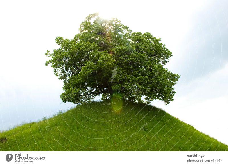 Die Dorfälteste 2 Linde Baum Gras frisch Frühling grün Hügel Landstraße erhaben Ruhestand Gegenlicht Braunschweig Vergänglichkeit Sonne Himmel Berge u. Gebirge