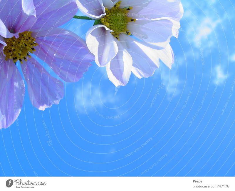 Insektenlandeplatz (2) Farbfoto Außenaufnahme Nahaufnahme Textfreiraum rechts Textfreiraum unten Tag Sonnenlicht ruhig Sommer Natur Pflanze Himmel Blume Blüte