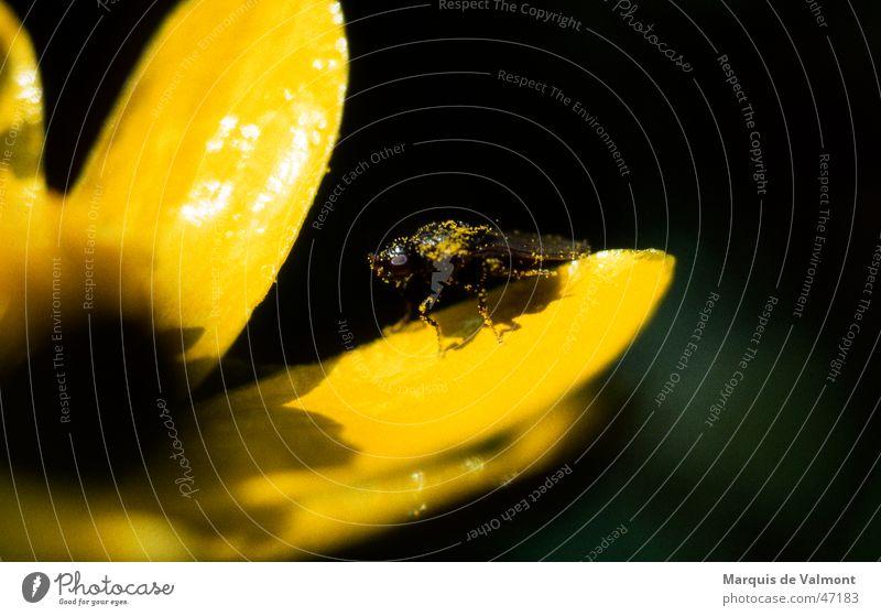 POLLution ;-) Blüte Blütenblatt gelb glänzend Insekt Pollen Staubfäden staubig dreckig Makroaufnahme Scharbockskraut Bad Pause vollgefressen Blume Pflanze