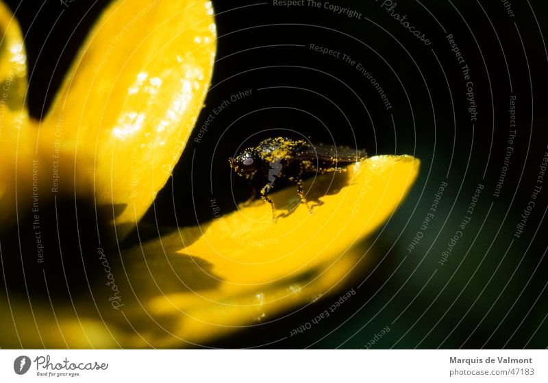 POLLution ;-) Natur Blume Pflanze gelb Blüte dreckig glänzend Fliege Pause Bad Insekt Staub Pollen Blütenblatt Staubfäden