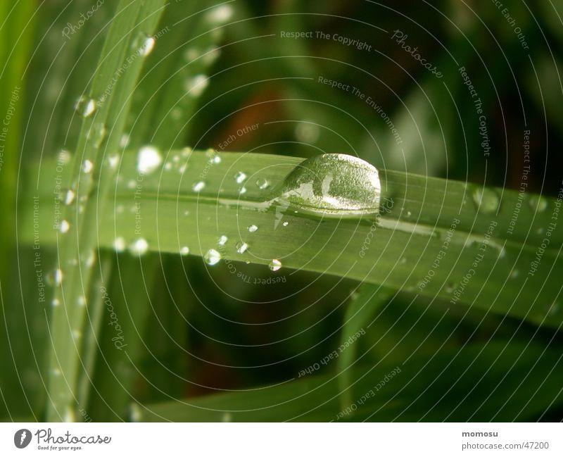 Tauperle Gras Halm Wiese nass Seil Wassertropfen Rasen Morgen Detailaufnahme Makroaufnahme