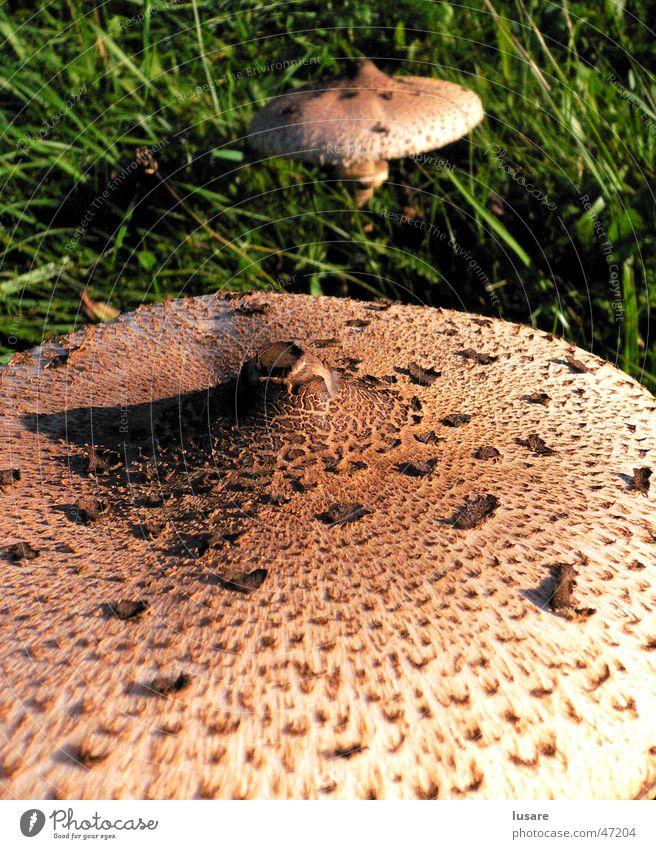 two mushrooms grün Herbst Wiese Gras Perspektive nah Pilz Oberfläche