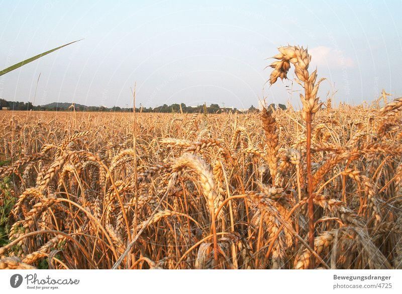 feld Sonnenuntergang rot Korn