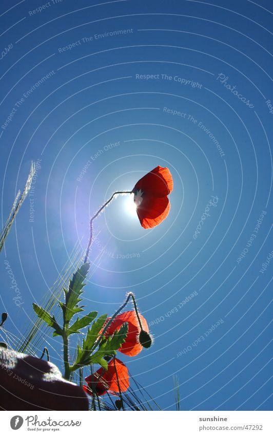 Mohn - lite Natur Himmel Sonne Blume rot Sommer Landschaft Wachstum Schönes Wetter Reifezeit