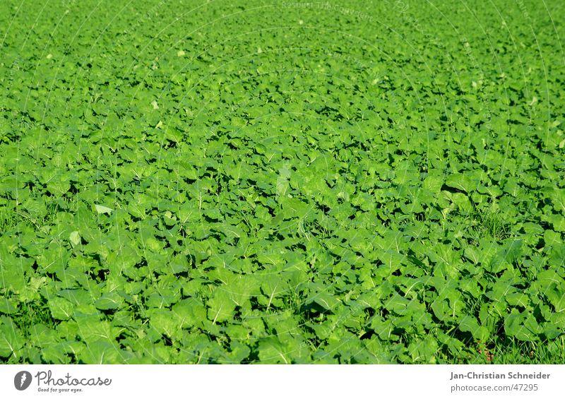 Green Sonne grün Pflanze Blatt hell Feld Wachstum Landwirtschaft