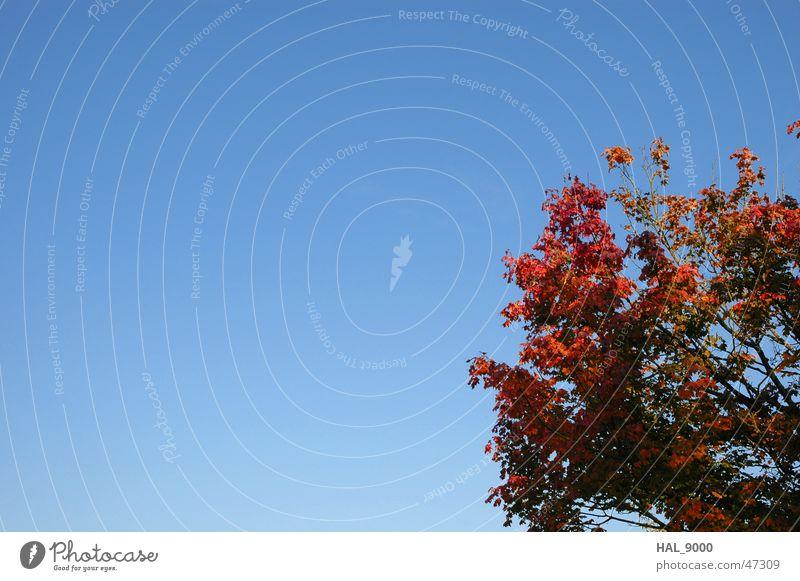 Herbstdings Natur Himmel Baum blau rot Schönes Wetter Ahorn