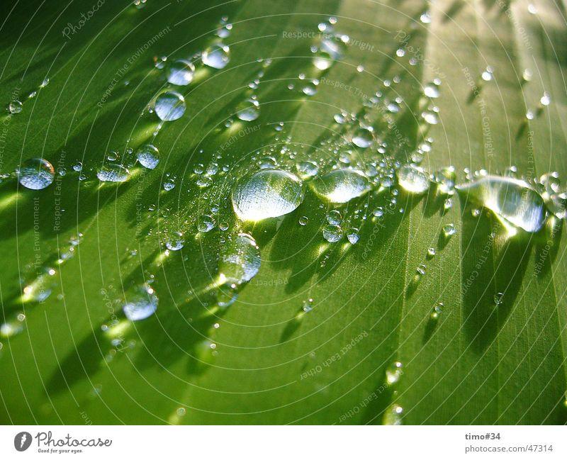 Frühtau auf Königspalme in der Dominikanischen Republik_I Wasser Wassertropfen Seil