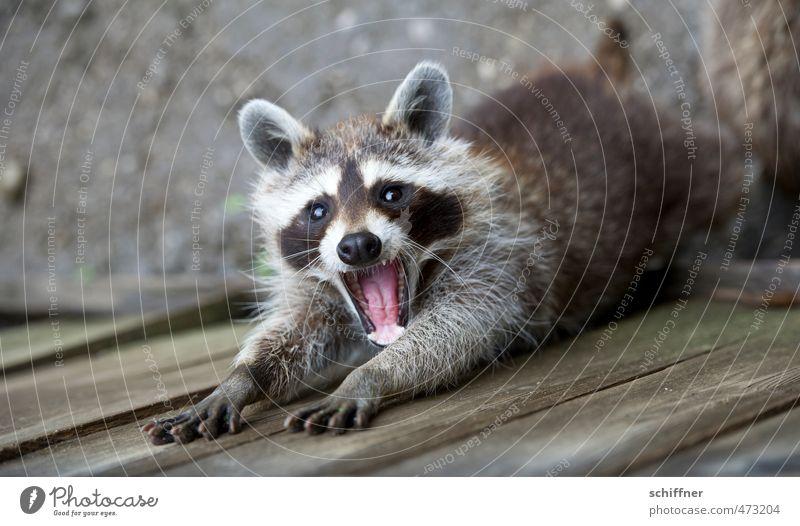 800 mal nach Nagellack gefragt schön Tier Wildtier niedlich Fell Gebiss Tiergesicht Waschen Pfote strecken Maul Krallen drollig gähnen Waschbär Knopfauge