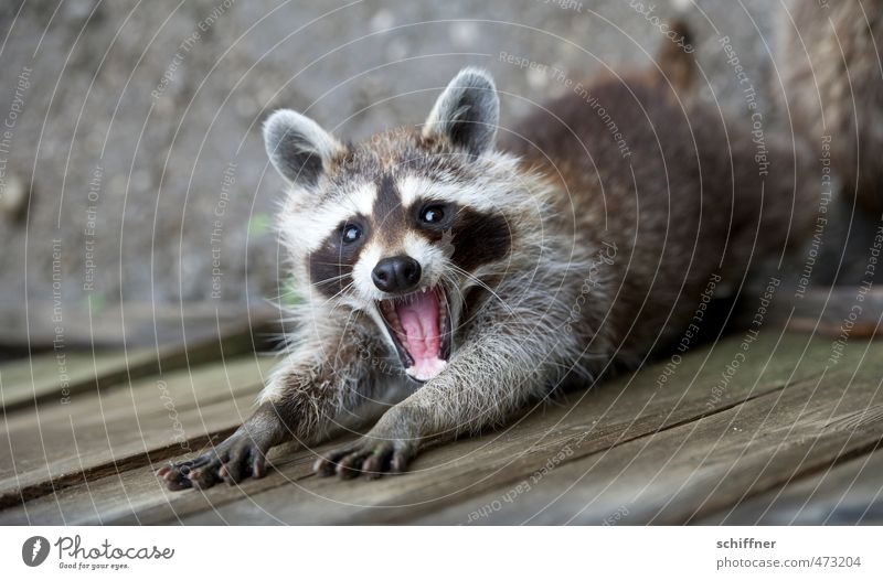 800 mal nach Nagellack gefragt Tier Wildtier Tiergesicht Fell Krallen Pfote 1 schön gähnen strecken Offener Mund Maul Gebiss Knopfauge niedlich drollig Waschbär