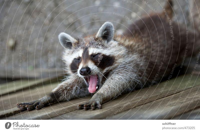 Noch immer kein Nagellack schön Tier niedlich schlafen Fell Ohr Tiergesicht Müdigkeit Waschen Pfote strecken Krallen ausgestreckt gähnen Waschbär Fellfarbe