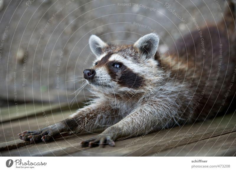 Tier | Nein! Nicht die Badewanne! Wildtier Tiergesicht Fell Krallen Pfote 1 Schwimmen & Baden Waschbär Außenaufnahme Menschenleer