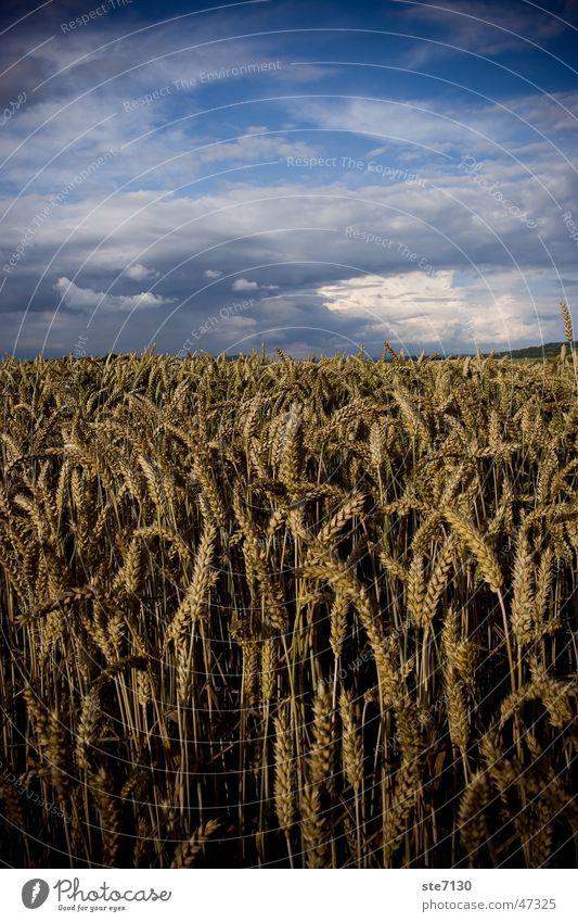 Korn mit Himmel Wolken Getreide Kornfeld Weizen