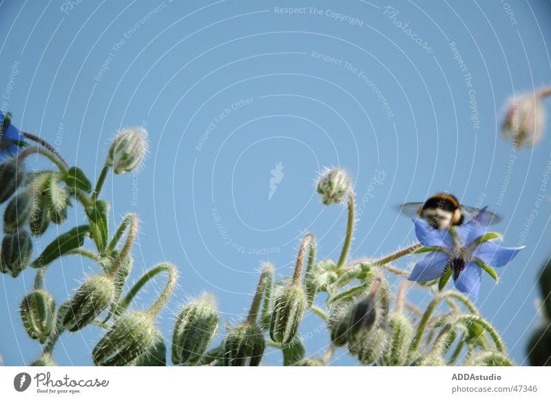 tiefflug Blume fliegen Flugzeuglandung einzeln Hummel