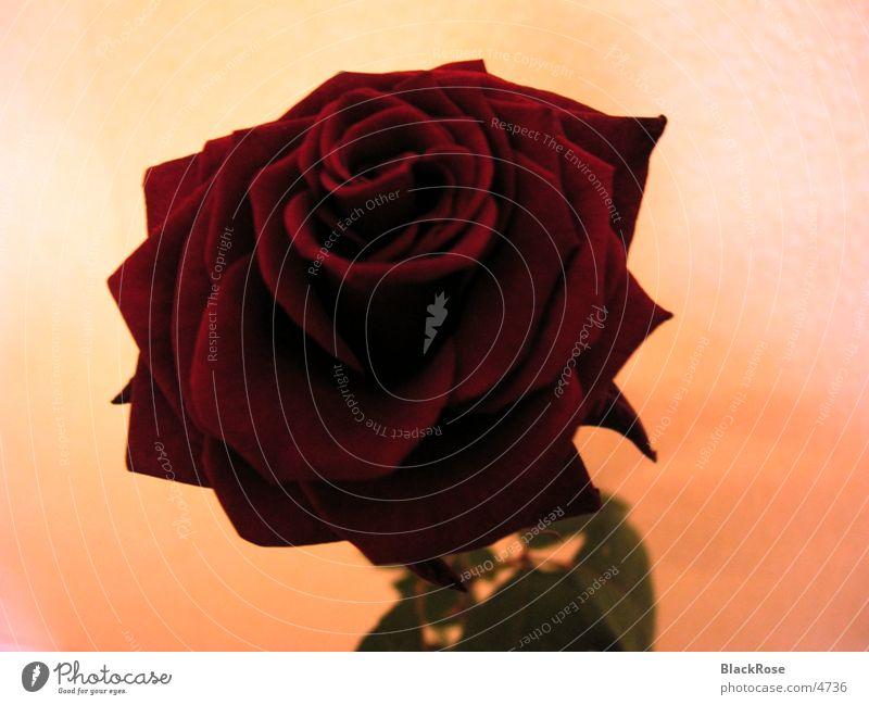 Rose rot Blume Natur