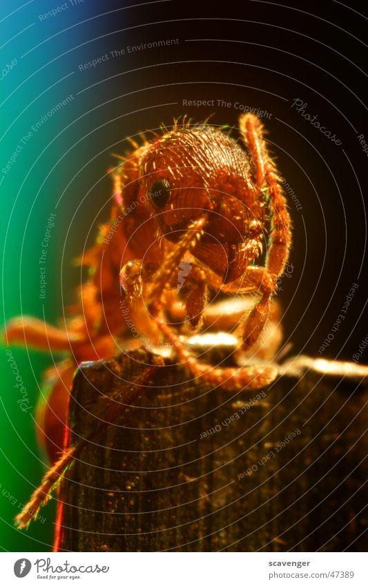 Ameise entdeckt die Welt Auge Tier Farbe Leben Freiheit Haare & Frisuren Beine Beleuchtung Insekt Klettern entdecken Momentaufnahme Fühler Bündel Haken Werkzeug