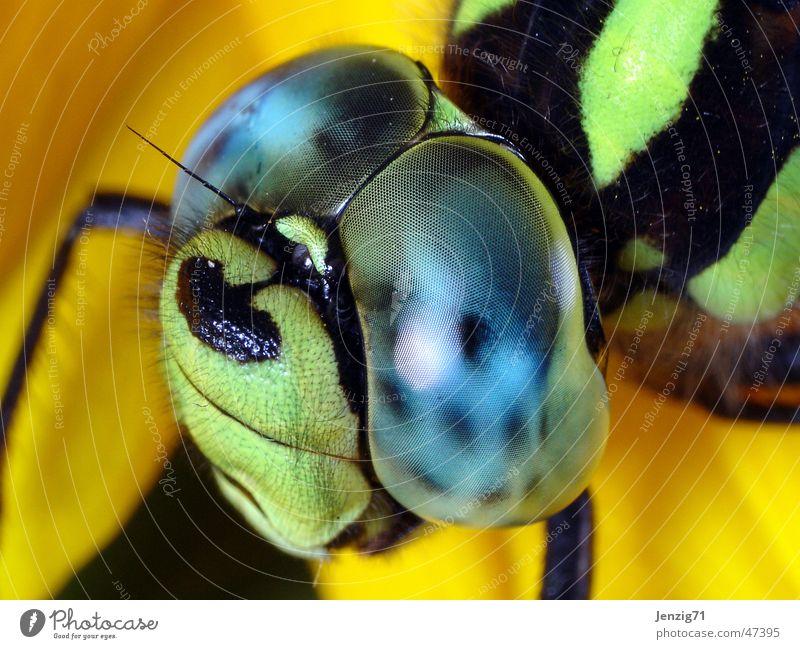 Mosaikjungfer Libelle Insekt Facettenauge Makroaufnahme