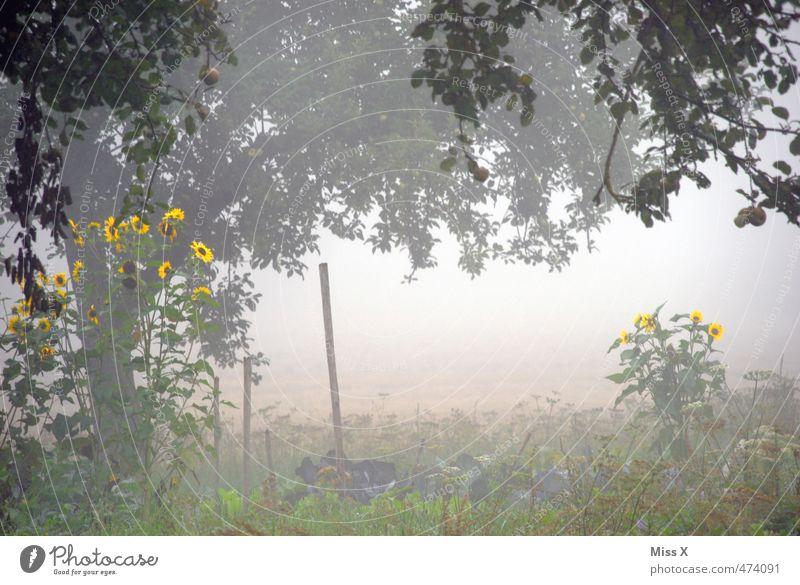Sonnenblumen leuchten in der Dunkelheit Sommer Herbst Wetter schlechtes Wetter Nebel Baum Blume Garten Feld Blühend verblüht trist grau Stimmung Endzeitstimmung