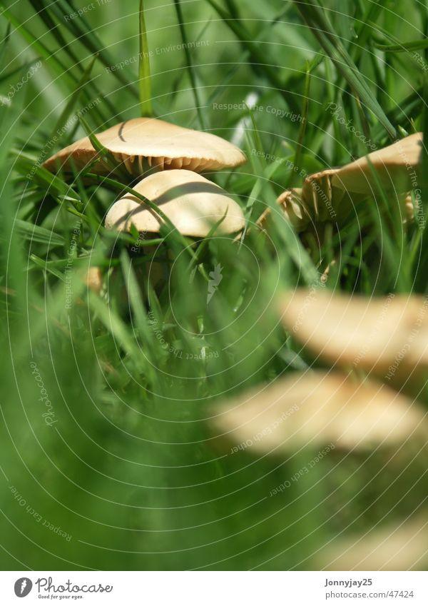 Mushroom Tiefenschärfe Gras Wiese Wald Sommer Sammlung Suche grün braun lecker Gift ungesund klein Pilz Makroaufnahme Nahaufnahme gesung Ernährung
