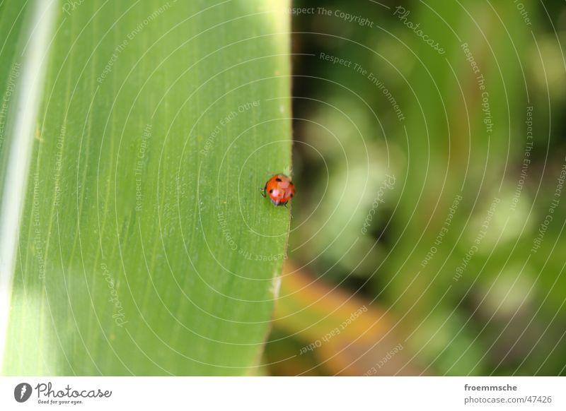 marienkäfer Marienkäfer Blatt Pflanze grün gepunktet Schiffsbug Natur Nahaufnahme Makroaufnahme Käfer orange Punkt ladybird lady bird leaf point pointed