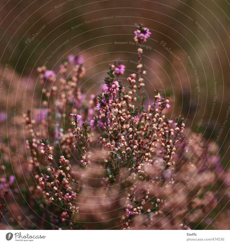 Faszination Heide VII Natur Landschaft Pflanze Herbst Sträucher Wildpflanze Heidekrautgewächse Bergheide Calluna Vulgaris Blühend schön braun violett Romantik