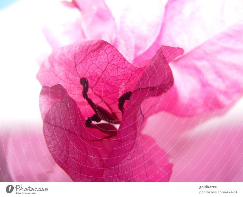 blüte in pink schön Pflanze Sommer Blume Erholung Garten Blüte Stil Frühling rosa elegant ästhetisch Dekoration & Verzierung Romantik Wellness zart