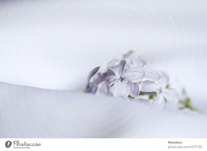 Flieder, ganz still Frühling Schönes Wetter Pflanze Blume Blüte Fliederbusch Erholung träumen weich violett weiß ruhig bescheiden Einsamkeit Leichtigkeit Trauer