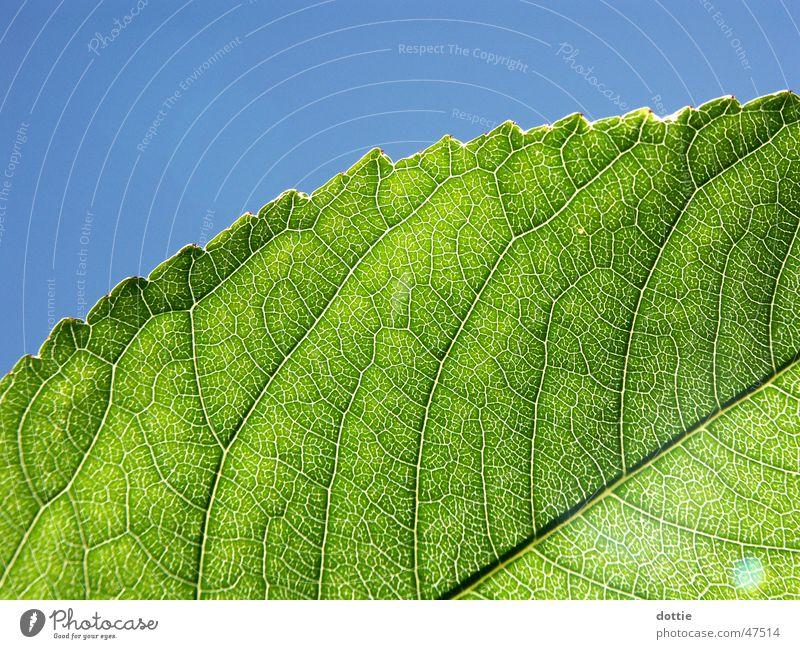 Sonnenblatt grün Blatt Gefäße