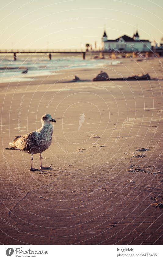 Möwe I Meer Einsamkeit ruhig Tier Strand Ferne Sand braun Deutschland Vogel stehen Europa Ostsee Möwe Seebrücke Ahlbeck