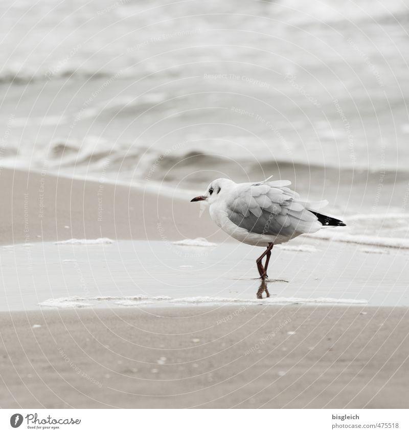 Möwe II Strand Ostsee Meer Vogel 1 Tier laufen elegant braun grau achtsam Wachsamkeit Usedom Vorsicht Farbfoto Gedeckte Farben Außenaufnahme Textfreiraum oben