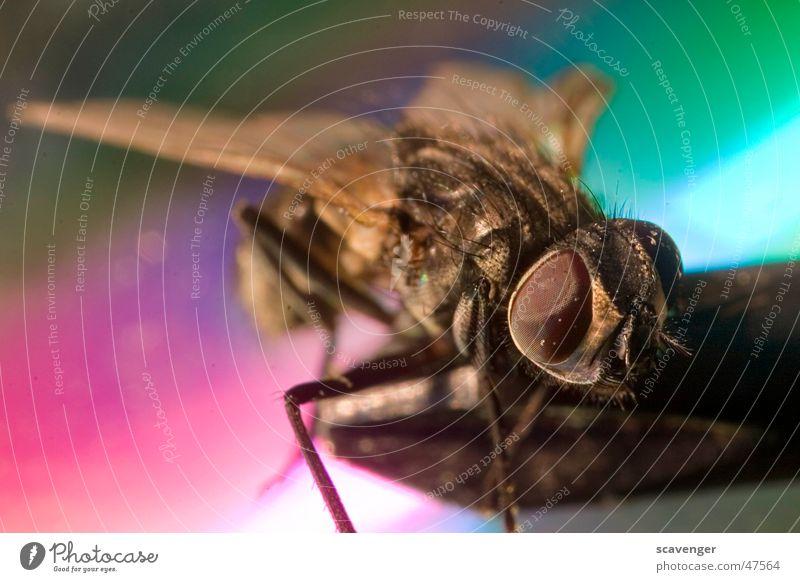 Fliege Insekt mehrfarbig Farbverlauf klein groß Staub fliegen Beine Auge facetten Farbe Makroaufnahme Mikrofon Haare & Frisuren Flügel