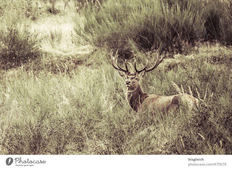 kleiner Hirsch II Natur grün Tier Umwelt braun Wildtier Wildfleisch Horn Hirsche