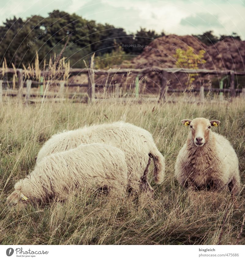 Echt Schaf grün Tier braun Lebensmittel stehen Haustier Schaf Fressen Fleisch Lammfleisch