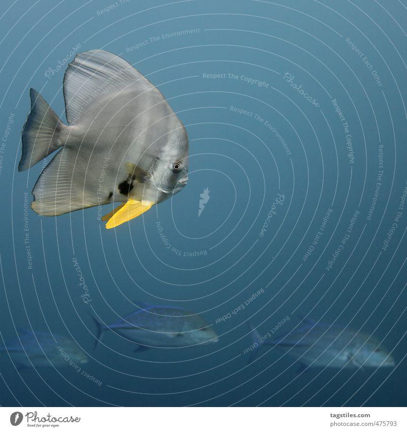 HIT THE ROAD, JACK! Fisch Ferien & Urlaub & Reisen Reisefotografie fledermausfisch Indischer Ozean Meer tauchen Schwimmen & Baden Im Wasser treiben blau