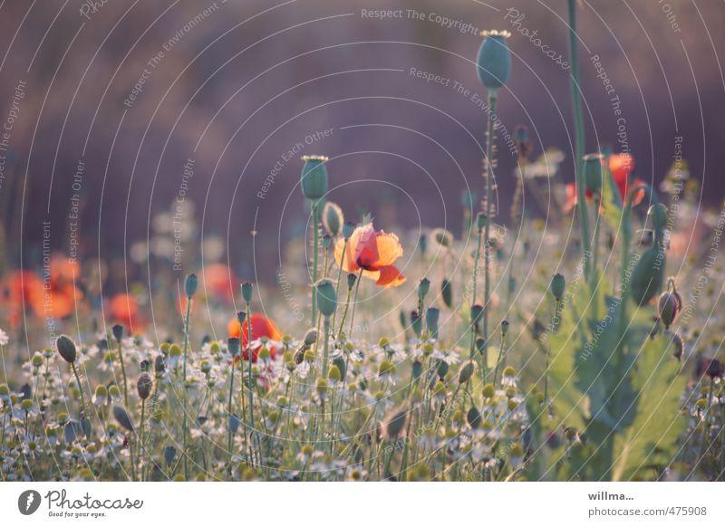 sommerabend II Natur Pflanze Sommer Mohn Mohnkapsel Mohnfeld Blumenwiese Blühend Lebensfreude Sommerabend Farbfoto Außenaufnahme Menschenleer Textfreiraum oben