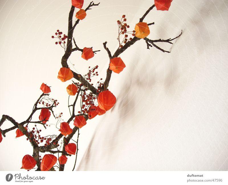 physalis schön ruhig Senior Einsamkeit Herbst Zufriedenheit orange Frucht Romantik Sauberkeit rein Ast Vergänglichkeit Idylle Botanik Tradition