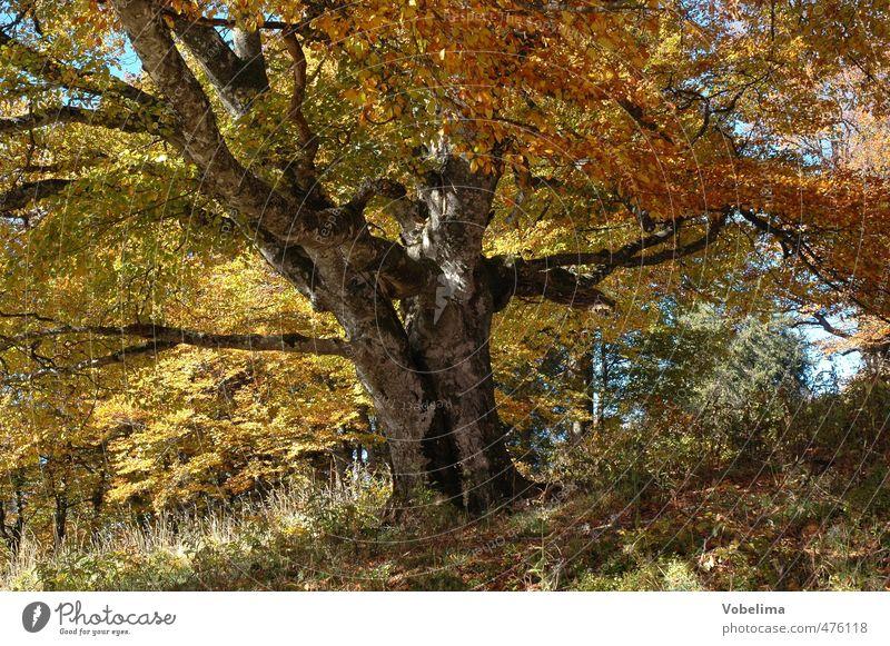 Baum im Herbst Natur alt Pflanze ruhig Landschaft Wald gelb braun orange gold