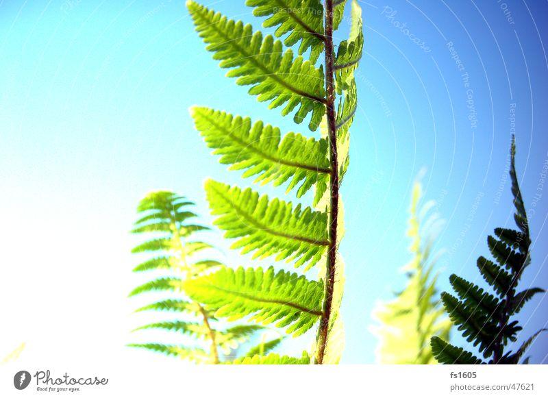 Farn ins rechte Licht gerückt.. Himmel Blume grün Pflanze gelb Echte Farne