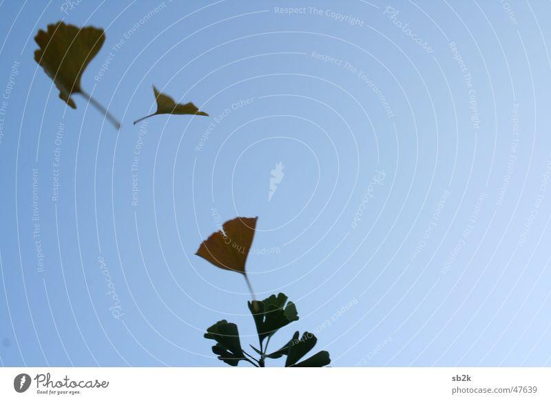 Lebenszeichen Ginkgo Baum Blatt Herbst grün braun gelb Unschärfe Bewegungsunschärfe blau orange Schatten fliegen fallen