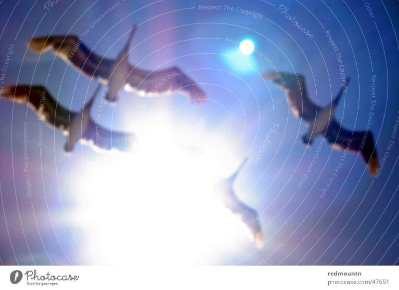 Pelican Himmel blau weiß Sonne Meer Freude Tier See Luft hell Vogel fliegen Luftverkehr USA 4 Amerika