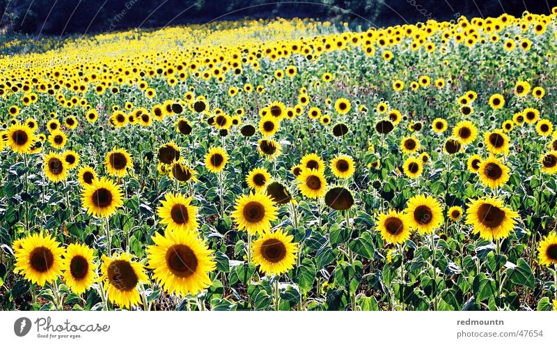 Sonnenblumen in der Provence Natur Blume grün Pflanze gelb Feld Frankreich