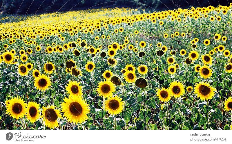 Sonnenblumen in der Provence Natur Sonne Blume grün Pflanze gelb Feld Sonnenblume Frankreich Provence