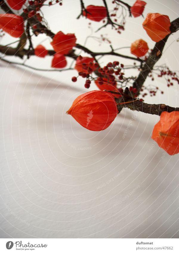 Herbstzauber Pflanze Herbst orange Frucht nah Ast Botanik Zweig Beeren vertrocknet verblüht getrocknet Physalis Pflanzenteile Herbstbeginn