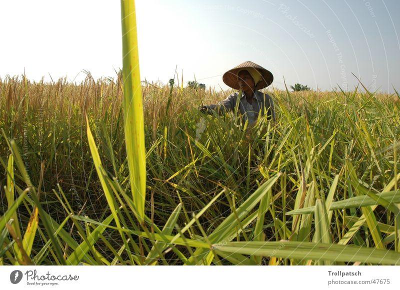 Reisernte in Bali Arbeit & Erwerbstätigkeit Kultur Reisbauer
