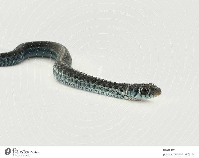 Babyschlange 3 weiß Auge Hintergrundbild Scheune Schlange Reptil