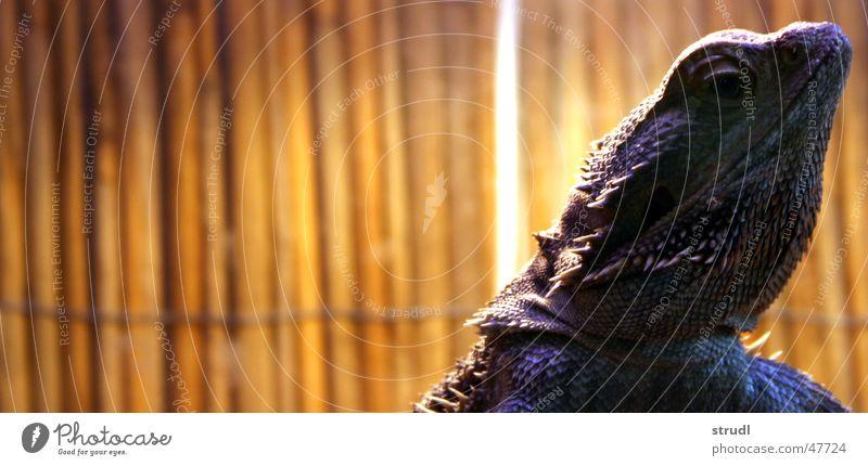 Bartagame Tier Reptil stachelig langsam Echsen kratzig Bart-Agame