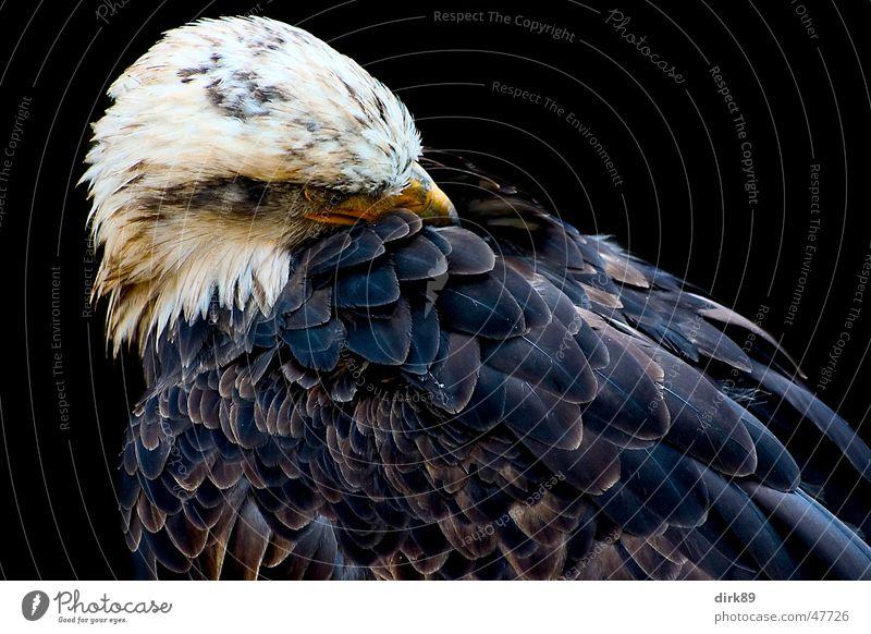 Seeadler Tier schwarz Vogel Macht Feder Reinigen Adler Schreiseeadler